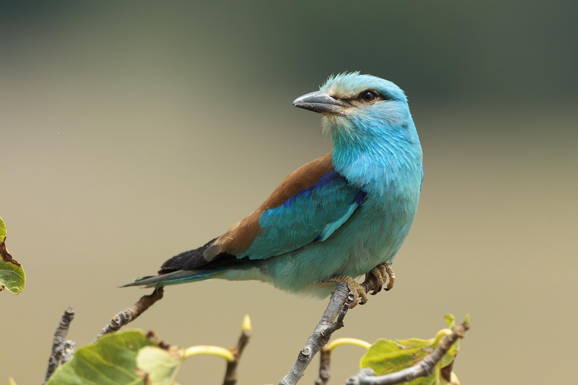 Ghiandaia marina itinerari natura camerota - Primavera uccelli primavera colorazione pagine ...
