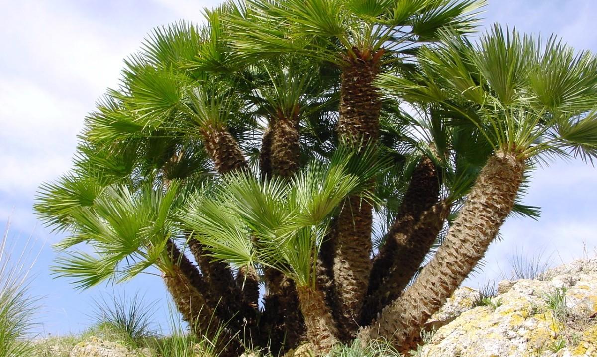 Palma nana itinerari natura camerota for Palma di san pietro