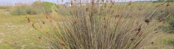 Giunco pungente (Juncus acutus L.)