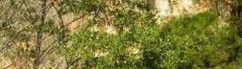 Ontano nero (Alnus glutinosa L.)