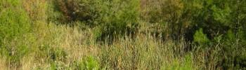 cannuccia (Phragmites communis).